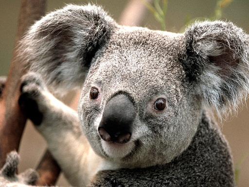 koala-jpg1